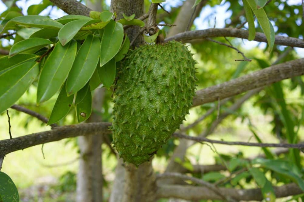 ...and soursop