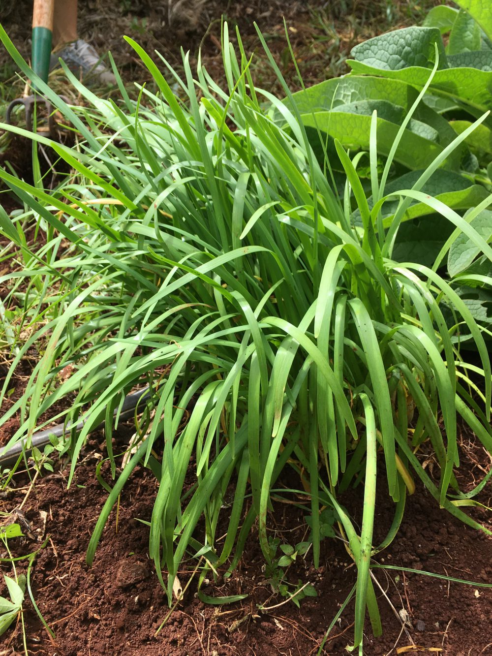 Some green onions
